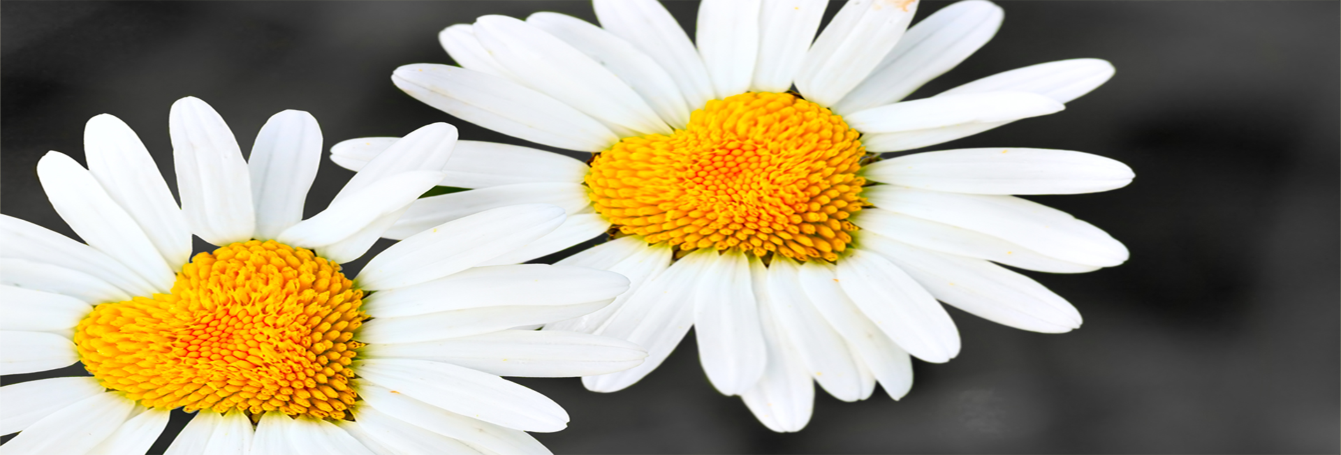 Two daisies with heart in center close-up